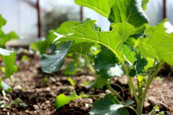 Когда сажать брокколи на рассаду