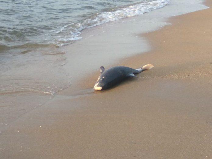 Дельфин, выброшенный на берег