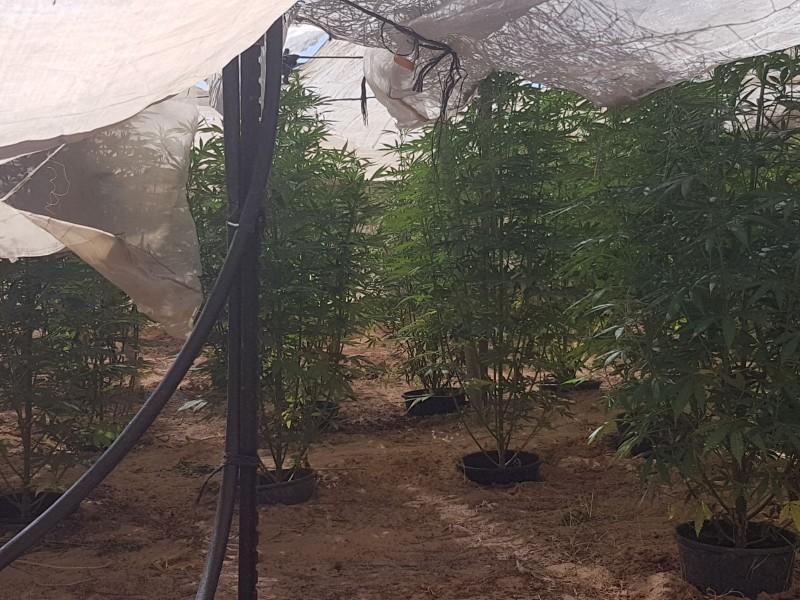 Как выращивать в теплице коноплю семена марихуаны оптом в украине