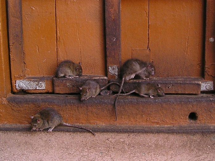 Крысы в Донецке