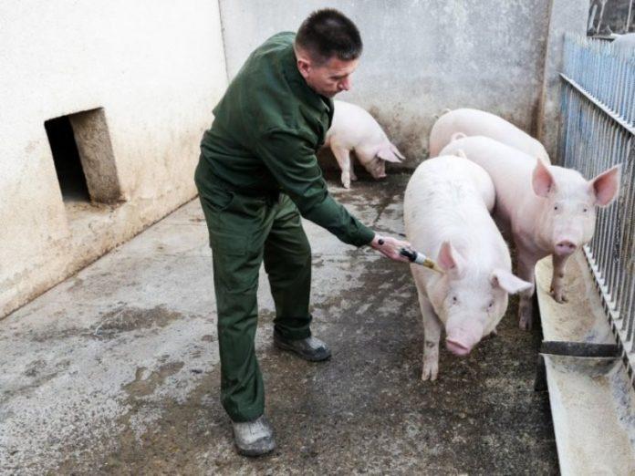 В Доброполье зарегистрированы случаи заболевания свиней африканской чумой